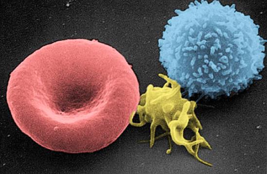 Krv: červená krvinka, krvná doštička a biela krvinka